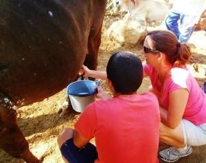 Costa Rica milking horse